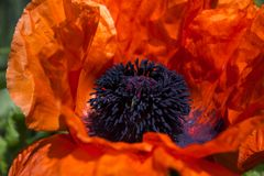 Red large poppy blooms, decorative papaver flower on a clear sunny day.  stock image