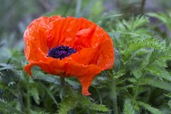 Red large poppy blooms, decorative papaver flower after rain in spring.  stock photo
