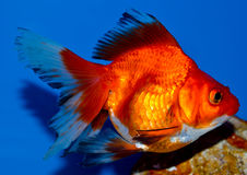 Red large ryukin goldfish Royalty Free Stock Photo