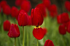 red large tulips Stock Photos