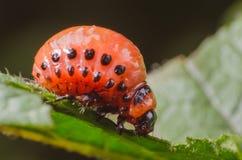 Red larva of the Colorado potato beetle eats potato leaves.  stock images
