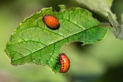 Red larva of the Colorado potato beetle eats potato leaves royalty free stock photos