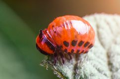 Red larva of the Colorado potato beetle eats potato leaves.  royalty free stock photos