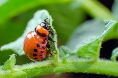 Red larva of the Colorado potato beetle eats potato leaves.  stock photos