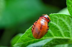 Red larva of the Colorado potato beetle eats potato leaves stock photography