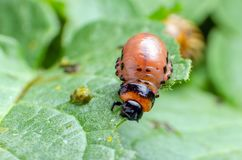 Red larva of the Colorado potato beetle eats potato leaves royalty free stock image