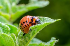 Red larva of the Colorado potato beetle eats potato leaves stock images