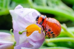 Red larva of the Colorado potato beetle eats potato leaves royalty free stock images