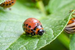 Red larva of the Colorado potato beetle eats potato leaves stock photo