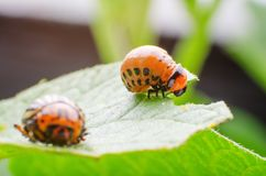 Red larva of the Colorado potato beetle eats potato leaves stock photo