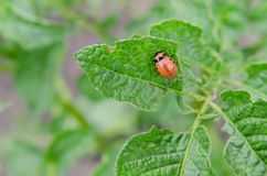 Red larva of the Colorado potato beetle stock photo