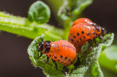 Red larva of the Colorado potato beetle eats potato leaves Royalty Free Stock Photography