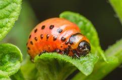 Red larva of the Colorado potato beetle eats potato leaves.  royalty free stock photo