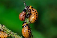 Red larva of the Colorado potato beetle eats potato leaves.  stock image