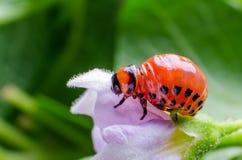 Red larva of the Colorado potato beetle eats potato leaves.  stock photo