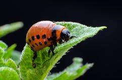Red larva of the Colorado potato beetle eats potato leaves.  stock photography