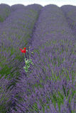 Red on Lavendar Royalty Free Stock Images