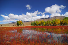 The red lawn. This is a special view in Daocheng, China. The red grasses living around a pond. Gives the traveller a big contrast of the color Royalty Free Stock Image