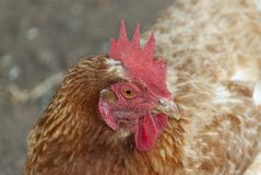 Red laying hen. Outdoor organic farm ecologic Royalty Free Stock Photo