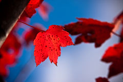 Red Leaf Royalty Free Stock Photos