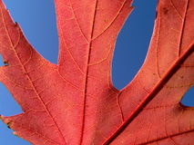 Red leaf. On sky background Stock Image