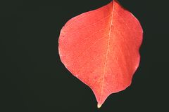 A Red Leaf. With Black Background royalty free stock image