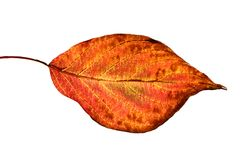 Red leaf. Isolated on white Stock Photo
