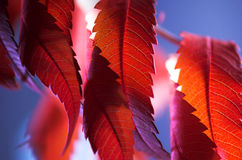 A red leaf Royalty Free Stock Images