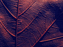 Red leaf. Red chesnut leaf from closeup POV Royalty Free Stock Photo
