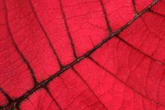 Red Leaf. Close up macro shot of a red autumn leaf Royalty Free Stock Photos