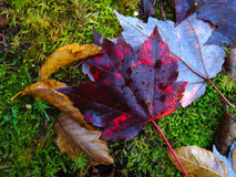 Red leaf. Red maple leaf fall during Autumn Stock Photography