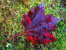 Red leaf. Red maple leaf fall during Autumn Royalty Free Stock Photos