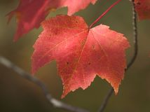Red leaf. Red autumn maple leaf royalty free stock photo
