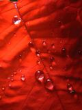Red leaf. With water drops royalty free stock photos