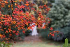 Red leaf-Acer palmatum. In late autumn, leaves are red Acer palmatum, in a corner of the park Royalty Free Stock Photography