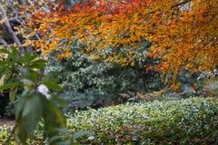 Red leaf-Acer palmatum Stock Photo