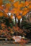 Red leaf-Acer palmatum Stock Photos