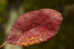Red leaf in the air Stock Photography