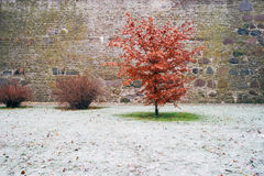 Red leaf alder tree against fresh snow Royalty Free Stock Photography