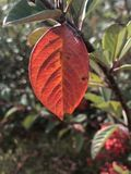 Red leaf, alone among other green leaves Stock Photo