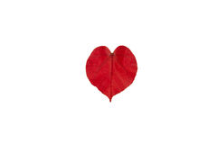 Red leaf as heart shape, Isolated on white background. Stock Photo