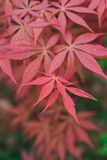 Red leaf in autumn Stock Images