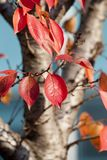 Red, Leaf, Autumn, Branch Stock Photos