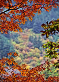 Red leaf in autumn in China Stock Images