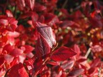 Red, Leaf, Autumn, Deciduous stock photo