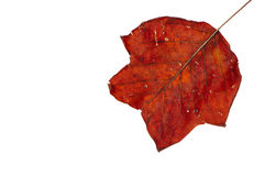 Red leaf in autumn fall. Backlit autumnal leaf close up with vein detail isolated on white background stock image