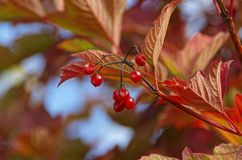 Red, Leaf, Autumn, Flora Stock Photo