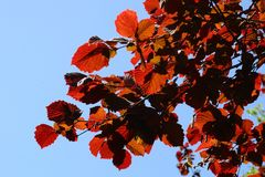 Red, Leaf, Autumn, Flora Royalty Free Stock Photo