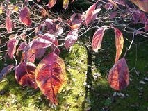 Red leaf in autumn Royalty Free Stock Photography