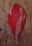 Red leaf Royalty Free Stock Photography